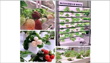 Strawberry cultivation equipment